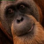 cara de orangutan