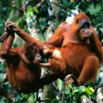 familia de orangutanes de sumatra
