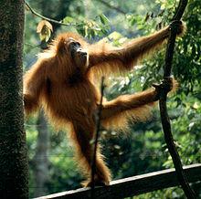 orangutan en el bosque