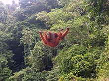 orangutan colgando