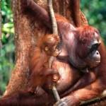 mama orangutan y su cria en borneo