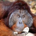 orangutan de borneo macho