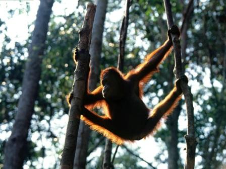 orangutan de borneo trepado