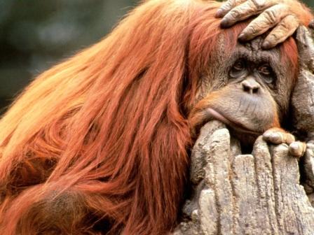 orangutan pensando