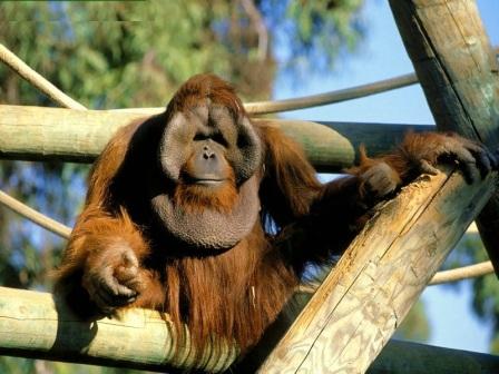 macho del orangutan de sumatra