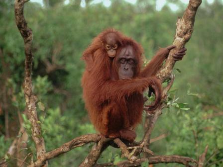 madre orangutan de borneo