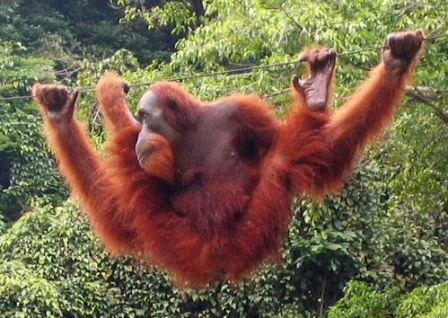 orangutan de sumatra en la selva