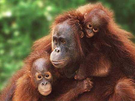 tres orangutanes de sumatra