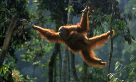 orangutan de sumatra balanceandose
