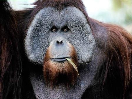 macho orangutan