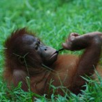 orangutan en el suelo